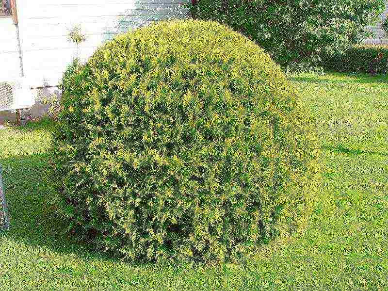 О туе Рейнголд: описание сорта, как посадить и ухаживать за растением