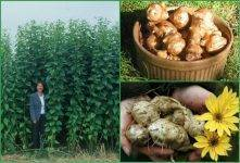 Топинамбур - выращивание, особенности земляной груши