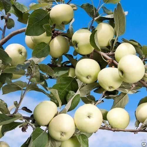 Яблоня 'папировка' — википедия. что такое яблоня 'папировка'