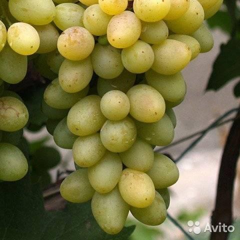 Виноградный сорт гурман ранний - общая информация - 2020