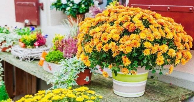 Хризантема в горшке: уход в домашних условиях. что делать с хризантемой в горшке? как ее посадить, как поливать? как ухаживать за хризантемой в горшке?