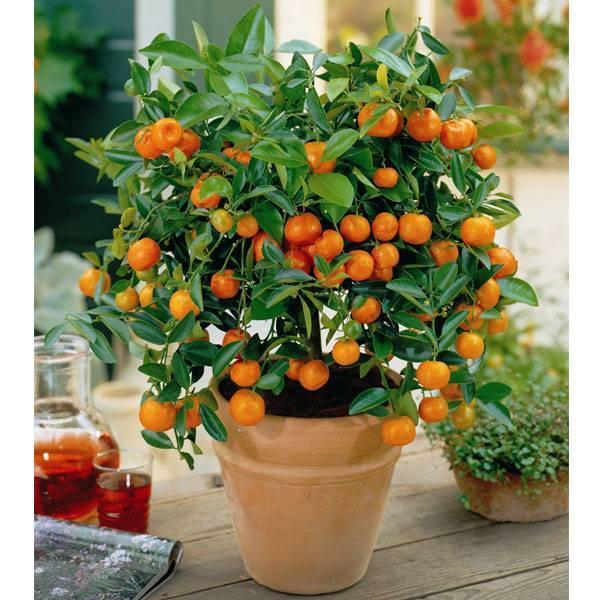 Апельсиновое дерево - советы по выращиванию цитрусовых