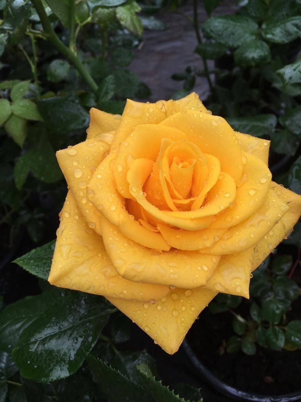 Керио – желтый гибрид чайной розы