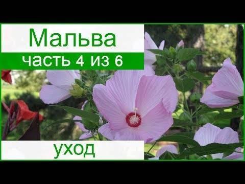Мальва махровая (29 фото): особенности многолетних цветов, правила выращивания шток-розы из семян, нюансы посадки и ухода