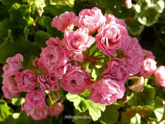 Pink rambler пеларгония фото описание
