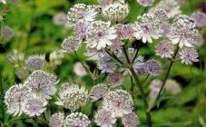 Василистник: посадка и уход, сорта, выращивание из семян в теплице + фото в саду