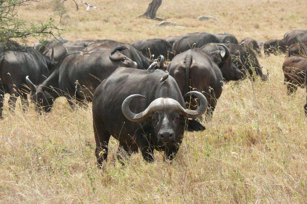 Буйвол африканский (syncerus caffer): фото, виды, интересные факты