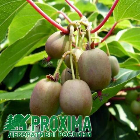 Актинидия - посадка и уход, выращивание, размножение