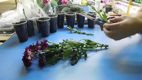 Черенкование хризантем: размножение хризантемы черенками в домашних условиях летом, укоренение черенков и последующий уход