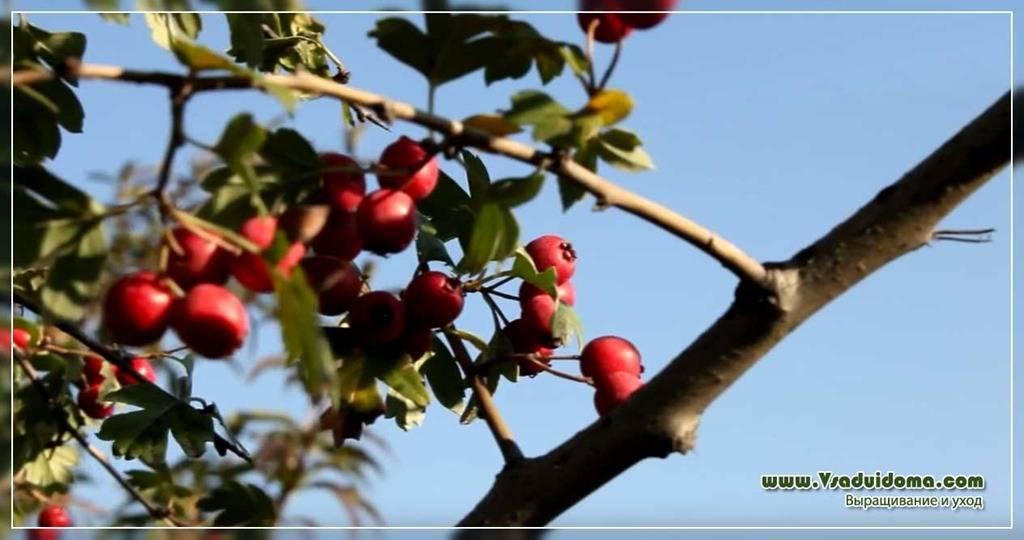 Выращивание боярышника - посадка и уход, размножение