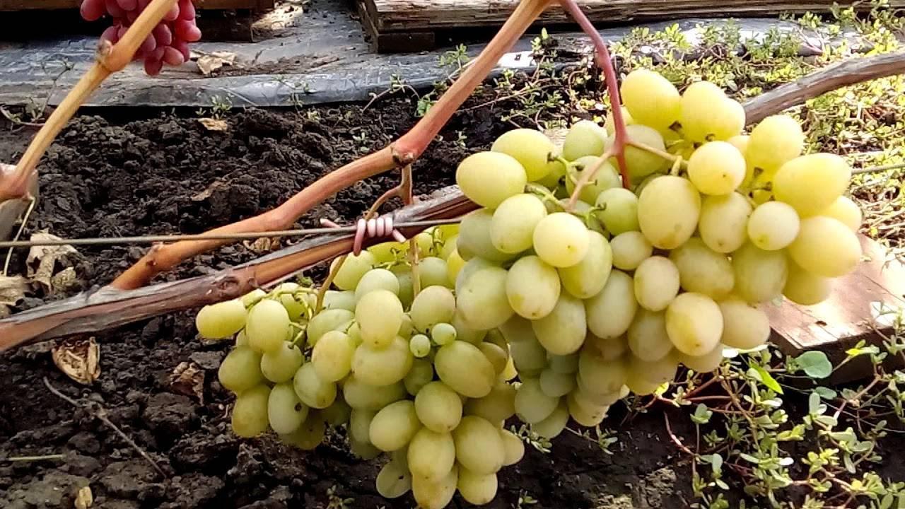 Мускат блау — виноград