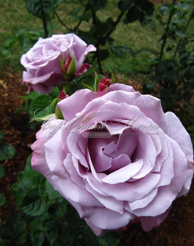 Голубые розы — мечты и воплощения | о розе