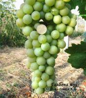 Виноград галбена ноу (золотинка)
