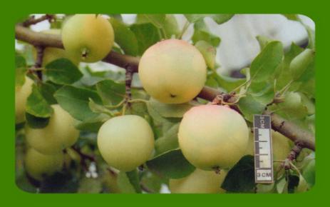 Секреты яблоневого сада в сибири. посадка - сад