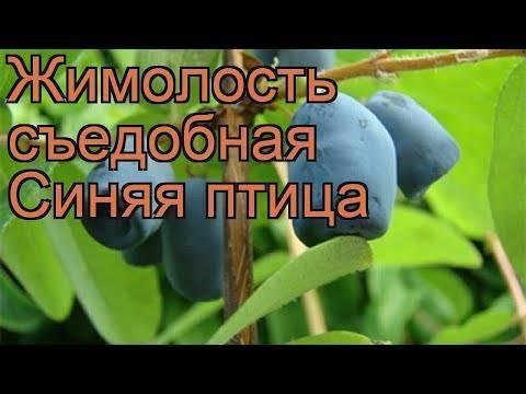 Жимолость синяя птица описание — ягоды грибы