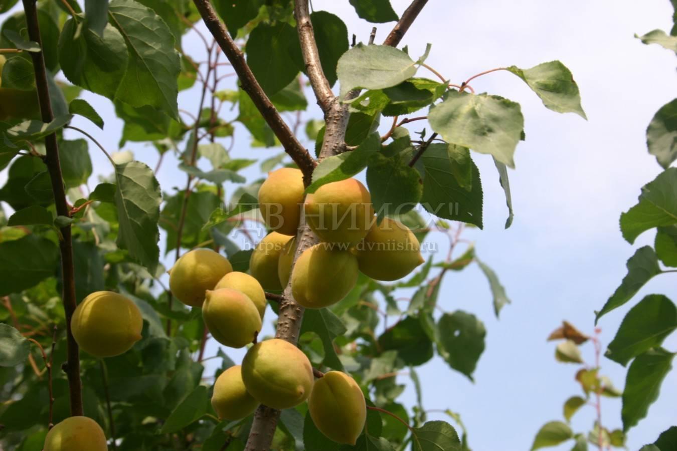 Об абрикосе Академик: описание и характеристики сорта, посадка, уход