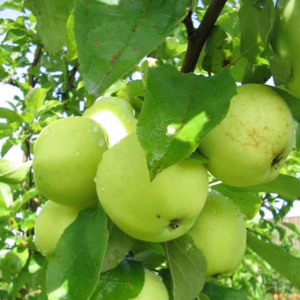 Яблоня 'папировка' — википедия