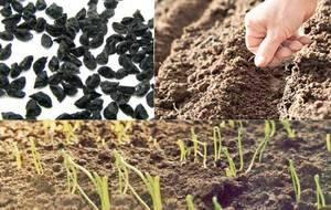 Лук чернушка – что это такое, когда сажать на рассаду, как проверить всхожесть и подготовить посадочный материал?
