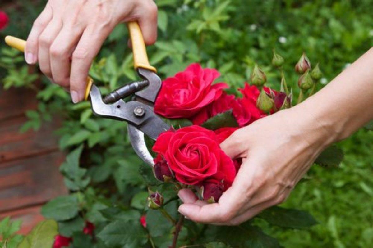 Об обрезке роз летом во время цветения: как правильно формировать куст розы
