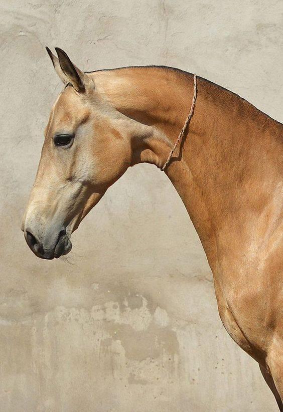 Как научить лошадь поклону правильно