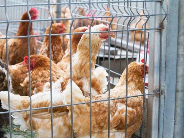 Как правильно выбрать курицу-несушку - общая информация - 2020