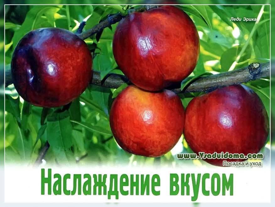 Персики: состав плодов, польза, использование в кулинарии