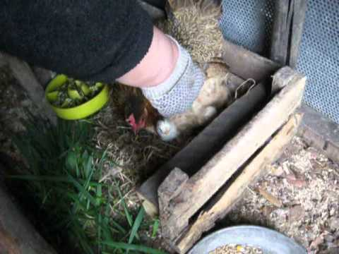Как посадить курицу высиживать на яйца в домашних условиях