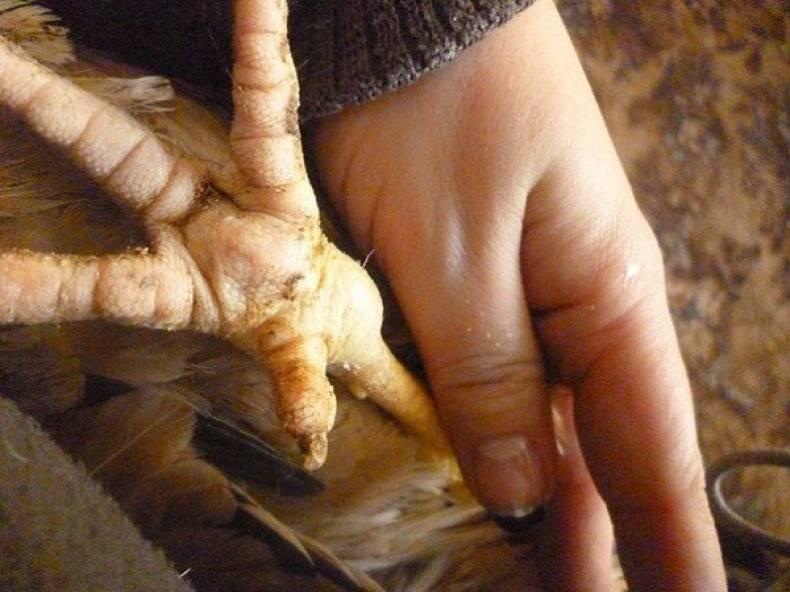 Какие болезни поражают лапы кур и как их лечить?