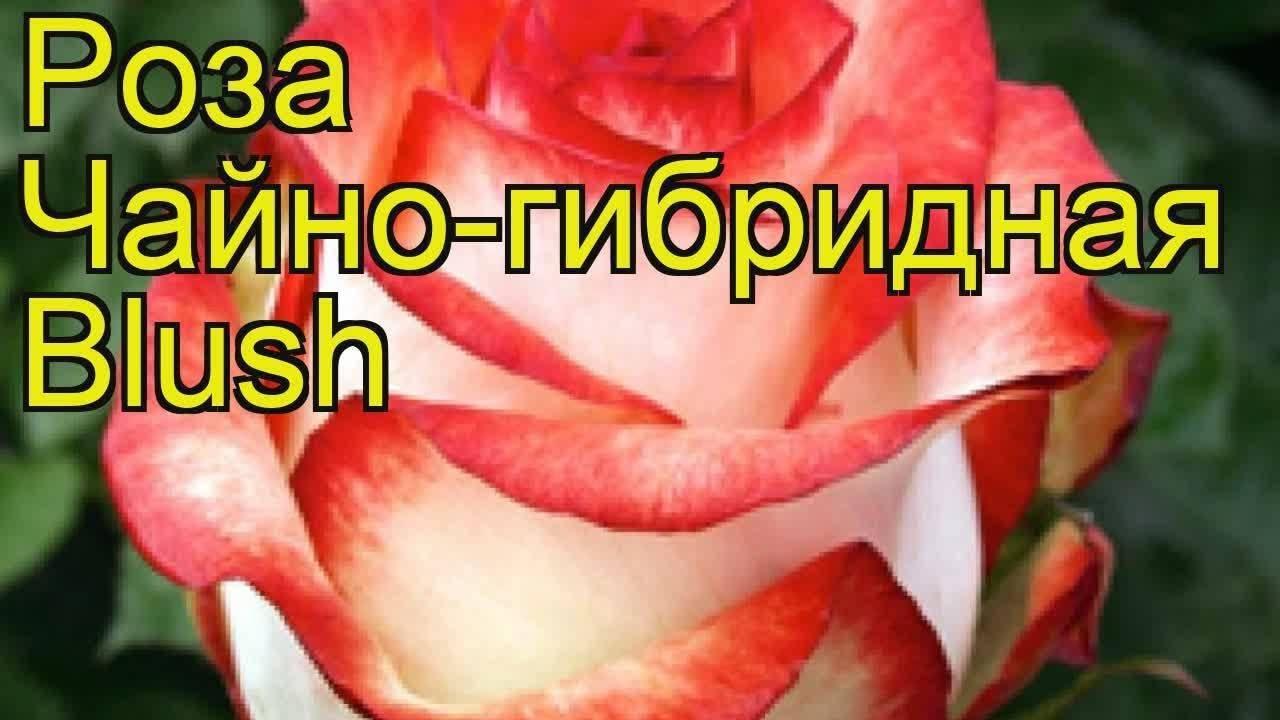 Роза рококо (rokoko) — описание сорта и и его разновидностей
