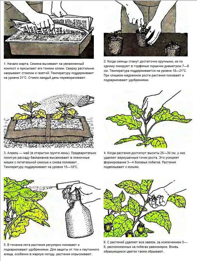 Как сажать баклажаны семенами и рассадой в открытый грунт, а также в теплицу, особенности ухода за растениями