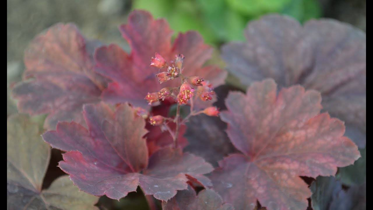 Каталог садовых гейхер – популярные виды и сорта