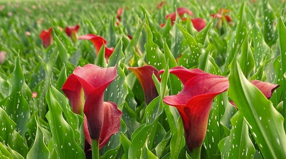 Садовые каллы: описание, виды и рекомендации по выращиванию