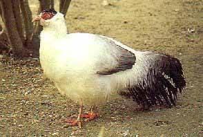 Какие бывают породы фазанов с фото и описанием