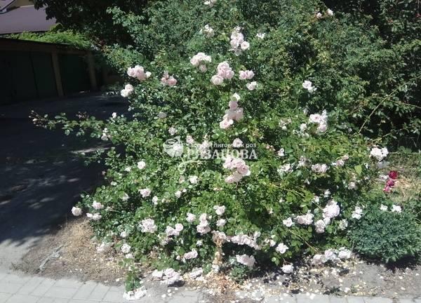 О плетистой розе нью даун (new dawn): описание и характеристики, выращивание
