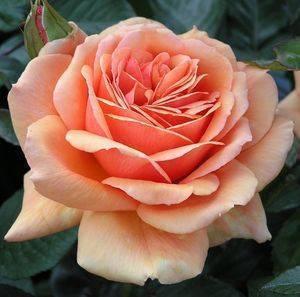 Плетистая роза посадка и уход в открытом грунте на урале