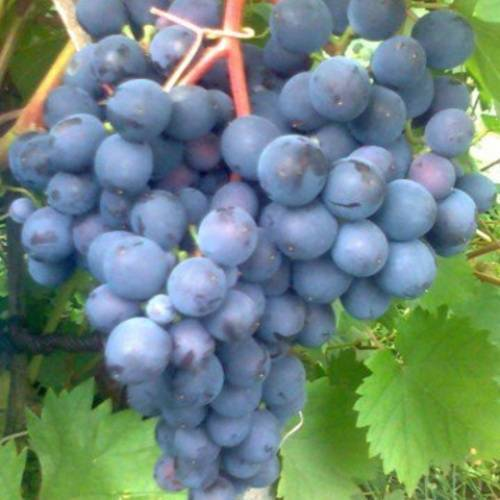 Описание и характеристики сорта винограда фиолетовый ранний, история и правила выращивания