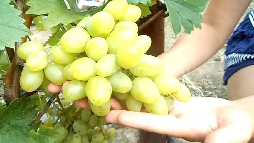 Виноград аркадия - характеристики сорта, описание и свойства сорта винограда (110 фото)