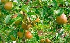 Дерево айва: цветение кустарника и описание фрукта айва