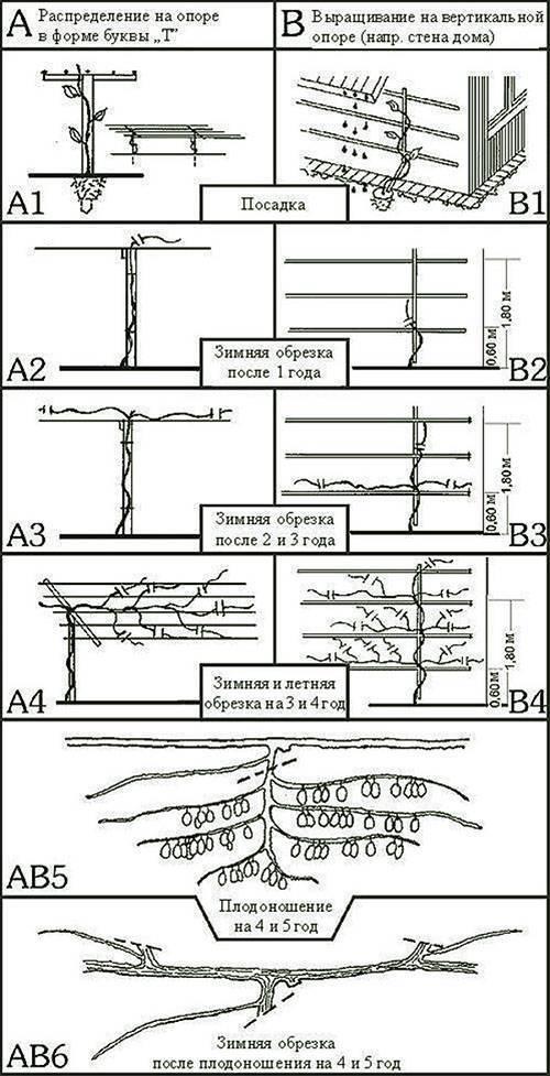 Обрезка и формирование актинидии