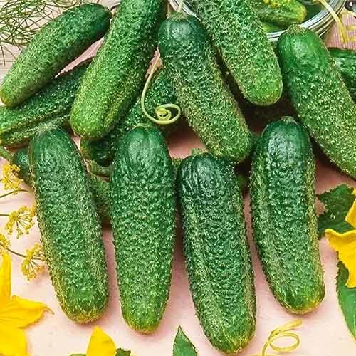Сверхурожайные и скороспелые: огурцы сорта сибирская гирлянда