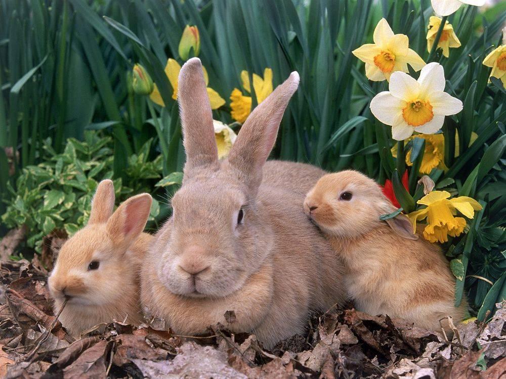 Может ли крольчиха перехаживать беременность. все о крольчихах