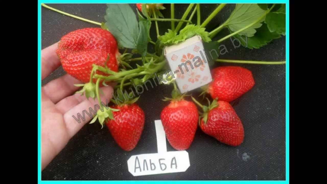 Клубника альба: описание урожайного раннего сорта ягоды