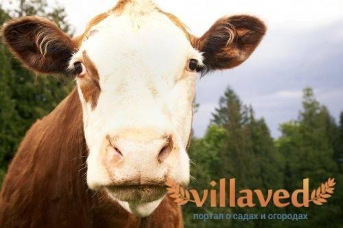Яловая корова: что это значит, почему буренка может не давать телят, как раздоить самку и получить молоко — причины и лечения бесплодия — moloko-chr.ru