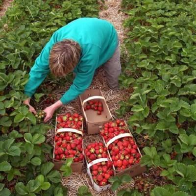 Крупноплодная ремонтантная клубника: сорта и нюансы выращивания