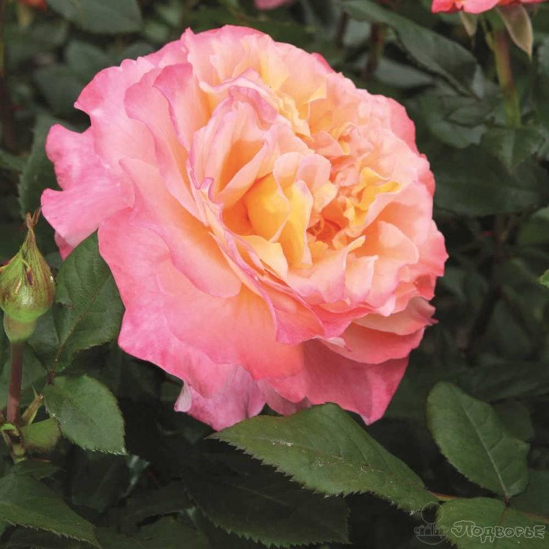 Роза августа луиза (augusta luise): описание и преимущества сорта, формирование, правила весенней, летней, осенней обрезки, подготовка к морозам, отзывы