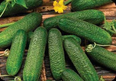 Огурцы: описание 29 сортов, основные характеристики и отзывы садовод о них   (фото & видео)