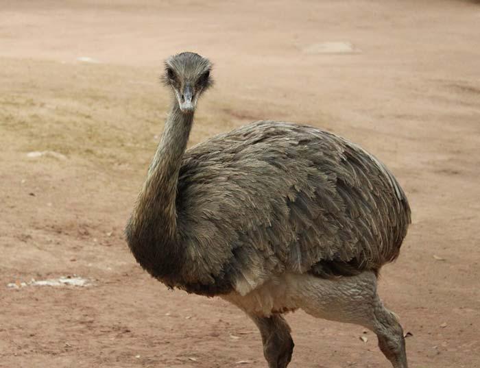 Как разводить страусов эму в домашних условиях?