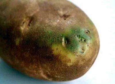 Спасение картофеля после заморозков: лечение ботвы и всходов