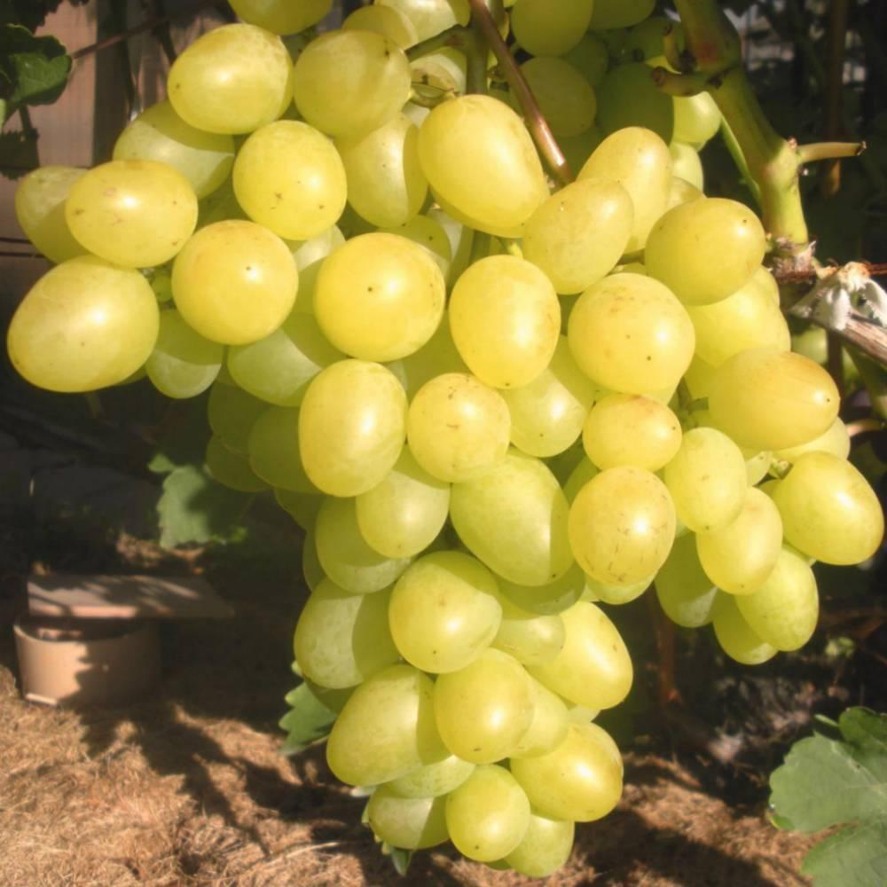 должен знать средние сорта винограда фото и описание шкаф