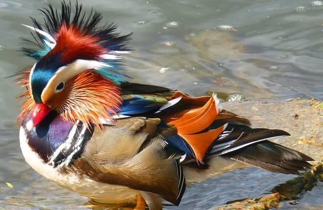 Красивая утка мандаринка: фото и описание, факты